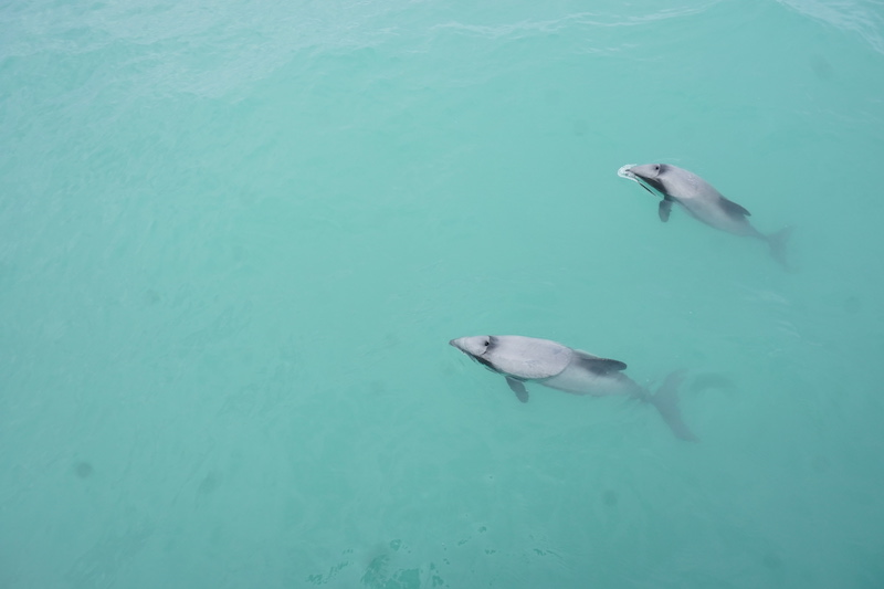 akaroa dolphins dolphins